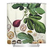 Fig Engraved By Johann Jakob Haid  Shower Curtain by German School