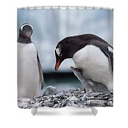 Gentoo Penguin With Chick Begging Shower Curtain by Konrad Wothe