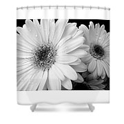 Gerber Daisies In Black And White Shower Curtain by Jennie Marie Schell