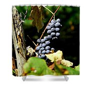 Grape Harvest Shower Curtain by Neal  Eslinger
