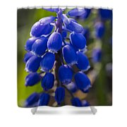 Grape Hyacinth Shower Curtain by Adam Romanowicz