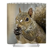 Gray Squirrel - D008392  Shower Curtain by Daniel Dempster