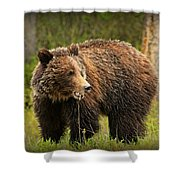 Grazing Grizzly Shower Curtain by Stephen Stookey