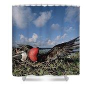 Great Frigatebird Female Eyes Courting Shower Curtain by Tui De Roy