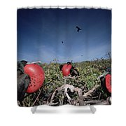 Great Frigatebird Males In Courtship Shower Curtain by Tui De Roy
