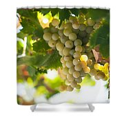 Harvest Time. Sunny Grapes Iv Shower Curtain by Jenny Rainbow