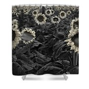 Haunting Sunflowers Field 3 Shower Curtain by Dave Dilli