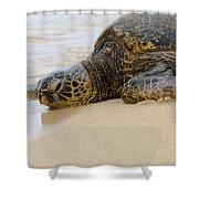 Hawaiian Green Sea Turtle 3 Shower Curtain by Brian Harig