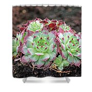 Hen and Chicks Shower Curtain by Tony Murtagh