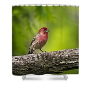 House Finch Shower Curtain by Christina Rollo