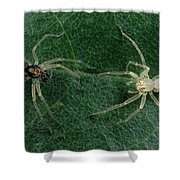 Jumping Spider Colorful Male And Pale Shower Curtain by Mark Moffett