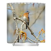 Male Bluebird In Budding Tree Shower Curtain by Robert Frederick