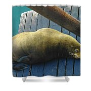 Napping Sea Lion Shower Curtain by Jeff Swan