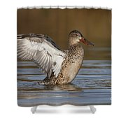 Northern Shoveler Hen Wing Flap Shower Curtain by Bryan Keil