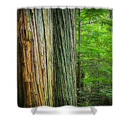 Old Growth Cedars Glacier National Park Painted Shower Curtain by Rich Franco