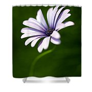 Osteospermum Daisy Shower Curtain by Tony Cordoza