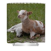 Pair Of Lambs Shower Curtain by Richard Baker
