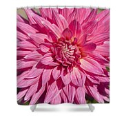 Pink Dahlia II Shower Curtain by Peter French
