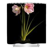 Pink Diamond Amaryllis Shower Curtain by Claudio Bacinello