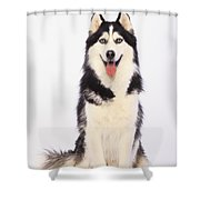 Portrait Of A Siberian Huskybritish Shower Curtain by Thomas Kitchin & Victoria Hurst