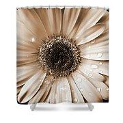 Rainsdrops on Gerber Daisy Sepia Shower Curtain by Jennie Marie Schell