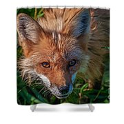 Red Fox Shower Curtain by Bianca Nadeau