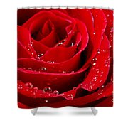 Red Rose Shower Curtain by Elena Elisseeva