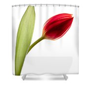 Red Tulip Shower Curtain by Dave Bowman