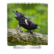 Red-winged Blackbird Shower Curtain by Christina Rollo