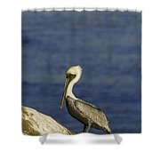 Resting Pelican Shower Curtain by Sebastian Musial
