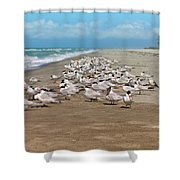 Royal Terns On The Beach Shower Curtain by Kim Hojnacki