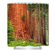 Sequoias Shower Curtain by Inge Johnsson