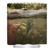 Spawned Out Sockeye Salmon In Quartz Shower Curtain by Scott Dickerson
