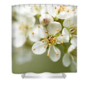 St Lucie Cherry Blossom Shower Curtain by Anne Gilbert