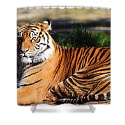 Sumatran Tiger 5D27142 Shower Curtain by Wingsdomain Art and Photography
