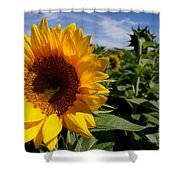 Sunflower Glow Shower Curtain by Kerri Mortenson