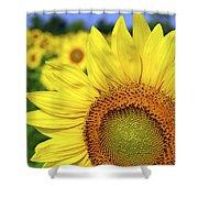 Sunflower In Field Shower Curtain by Elena Elisseeva