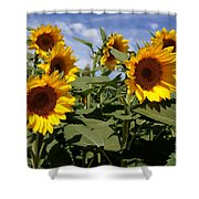 Sunflowers Shower Curtain by Kerri Mortenson