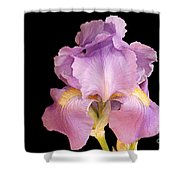 The Iris In All Her Glory Shower Curtain by Andee Design