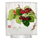 The May Duke Cherry Shower Curtain by William Hooker