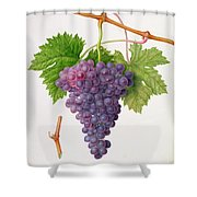 The Poonah Grape Shower Curtain by William Hooker