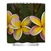 Three Pink And Yellow Plumeria Flowers - Hawaii Shower Curtain by Brian Harig