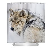 Timber Wolf Pictures 1268 Shower Curtain by World Wildlife Photography