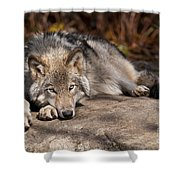 Timber Wolf Pictures 945 Shower Curtain by World Wildlife Photography