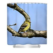 Wild Birds - American Goldfinch Shower Curtain by Christina Rollo
