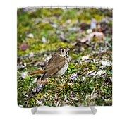 Wild Birds Hermit Thrush Shower Curtain by Christina Rollo