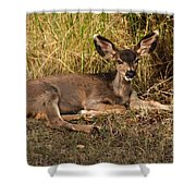 Young Mule Deer Shower Curtain by Robert Bales