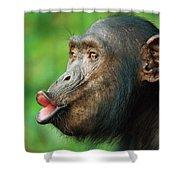 Chimpanzee Pan Troglodytes Adult Female Shower Curtain by Cyril Ruoso