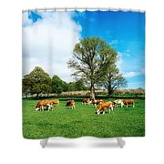 Hereford Bullocks Shower Curtain by The Irish Image Collection