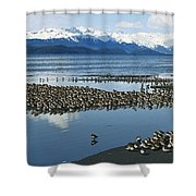 Western Sandpiper Calidris Mauri Flock Shower Curtain by Michael Quinton